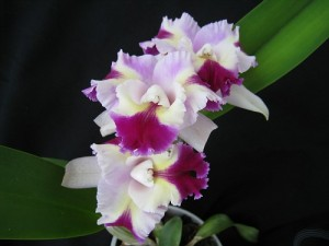<i>Cattleya</i> hibridas. Autorė Dalia Raimonda Mačenskienė