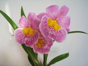 Miltoniopsis hibridas. Autorė Dalia Raimonda Mačenskienė. Orchidėjų užsakymai