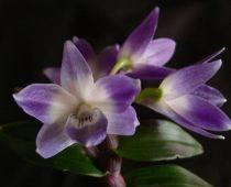 Dendrobium gentis. Rūšys ir hibridai