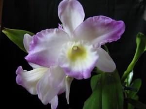 <i>Dendrobium nobile</i> hibridas. Autorė Dalia Raimonda Mačenskienė