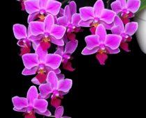 Phalaenopsis gentis. Rūšys ir hibridai