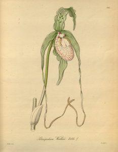 Phragmipedium_warszewiczianum_as_Selenipedium_wallisii_-_Xenia_2-181_1874