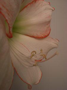 Amaryllis Picote